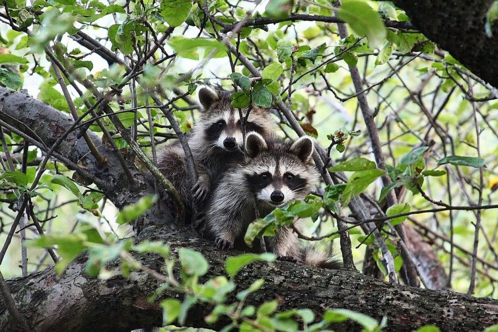 Baby Raccoon - What you Need to Know